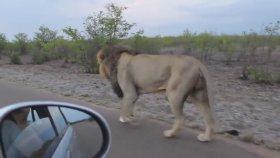 Fazla İçli Dışlı Olan Turiste Haddini Bildiren Aslan