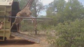 Yeni Evi İçin Sabırsızlanan Zürafanın Yeri Öpmesi