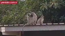 Yavru Maymunu Gören Annesi Sim Sıkı Sarıldı