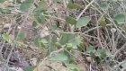 Gebre gevil kapari bitkisinin insanlığa mucizevi faydaları yararları nelerdir
