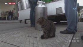 Süt Sırasına Bekleyen Medeni Kedi