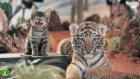Yırtıcı kediler hakkında 30 gerçek