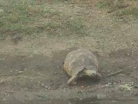 Dünyanın En Şanslı Kaplumbağası