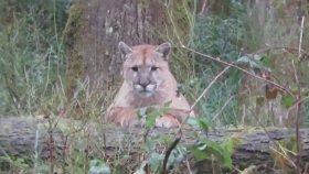 Puma ve Adamın Karşılıklı Anlamsız Bakışması
