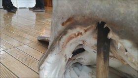 Dev Camgöz Köpekbalığı