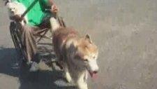 Engelli Sahibinin Gezintisine Yardımcı Olan Köpek