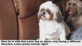 İnsana Benzeyen Köpek