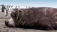 Kıyıya Çıkan Deniz Fili Yavruyu Ezdi