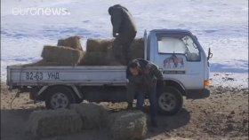 Soyu Tükendi Sanılan Atların Moğolistan'da Tekrar Görülmsi