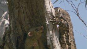 Keseli Sıçanın Monitör Kertenkeleyle Düellosu