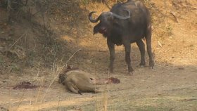 Aslanı Perişan Eden Buffalo