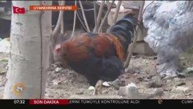Cinsiyet Değiştirip Horoz Olan Tavuk