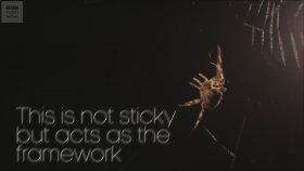 Örümcek Nasıl Ağ Örer?