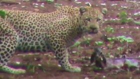 Yavru Ceylanı Leopardan Kurtaran Aslan