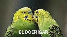 Muhabbet Kuşları Hakkında Bilmeniz Gereken İlginç Bilgiler