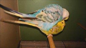 Muhabbet Kuşlarının Çiftleşmesi