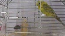 Muhabbet Kuşlarının Yemini Ve Kumunu Dökmesinin Nedenleri