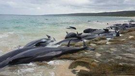 Avustralya'da 150 Balinanın Kıyıya Vurması