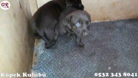 Labrador Kahverengi