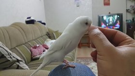 Çok Net Konuşan Beyaz Muhabbet Kuşu