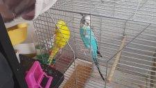 Muhabbet Kuşları Çiftleştirmede Nasıl Taktikler Uygulanır?