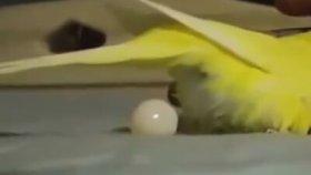 Muhabbet Kuşların Yumurtlaması Ve Yumurtlama Anı