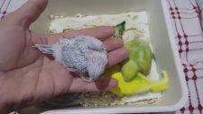 Muhabbet Kuşlarının Genel Durumları