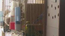 Muhabbet Kuşlarının Kızgınlaştırma Ve Çiftleşme Sesleri