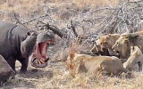 Aslanların Avına Ortak Olmak isteyen Aç Su Aygırı