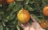 Yarısı Limon, Yarısı Portakal Meyve  Antalya