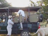 Erkek Aslanın Safari Aracına Binmesi