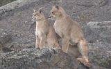 Pumaların Çiftleşmesi