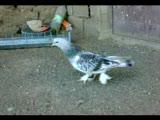 taklacı güvercin elazığ