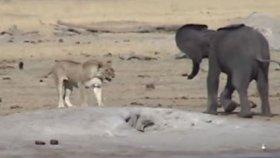 3 Aslanın Yavru Fil Avı