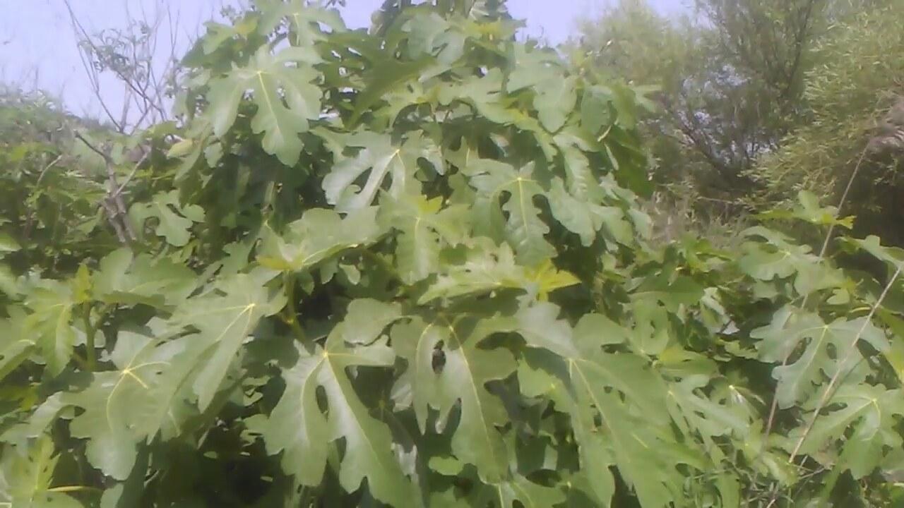 Asma Yaprağı Faydaları Nelerdir