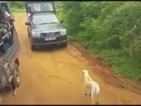 Leoparın Köpeğe Saldırması