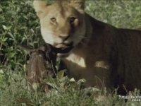 Yeni Doğan Yavru Antilopu Yemeyen Dişi Aslan