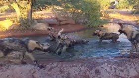 Yaban Domuzunu Avlayan Vahşi Köpekler