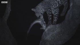 Leopar Ailesinin Kedi Balığı Avı