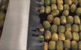 Ananas Suyu Fabrikasının İşleyişi