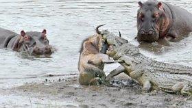 Antilobu Timsahlardan Su Aygırları Kurtardı