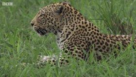 Dişi Leoparların Kavgası