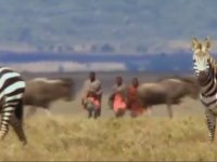 Ekmeğin Aslanın Ağzında Olduğunu Kanıtlayan Afrikalılar.