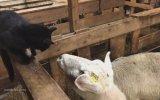 Koyuna Artislik Yapılmayacağını Öğrenen Kedi