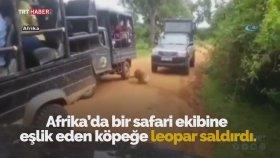 Safari Grubuna Eşlik Eden Köpeğe Leopar Saldırdı