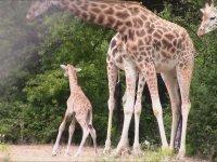 Yeni Doğan Zürafanın Ayağa Kalkma Savaşı