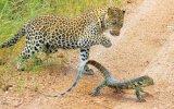 Cağnım Monitör Kertenkelesini Avlayan Leopar