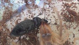 İnanılır Gibi Değil. Bu Böceği Akrep ve Çıyanlar Yiyemedi.(Camel Spider Vs Carabus)