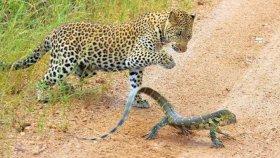 Leoparın Monitör Kertenkele Avı