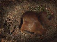 Doğum Yapan Sincap